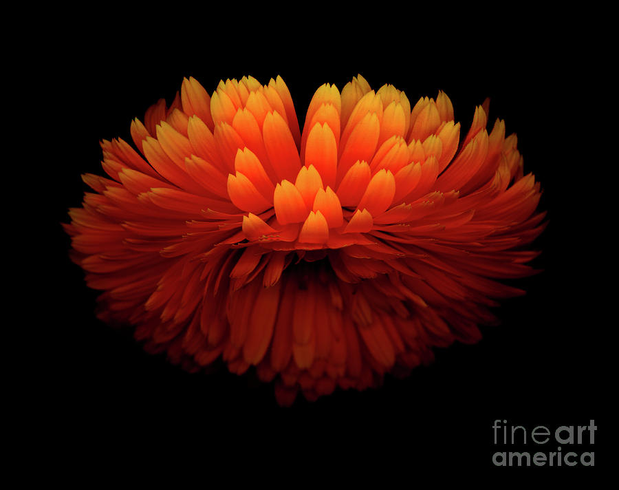 American Photograph - Calendula Sunrise by Christopher Gruver