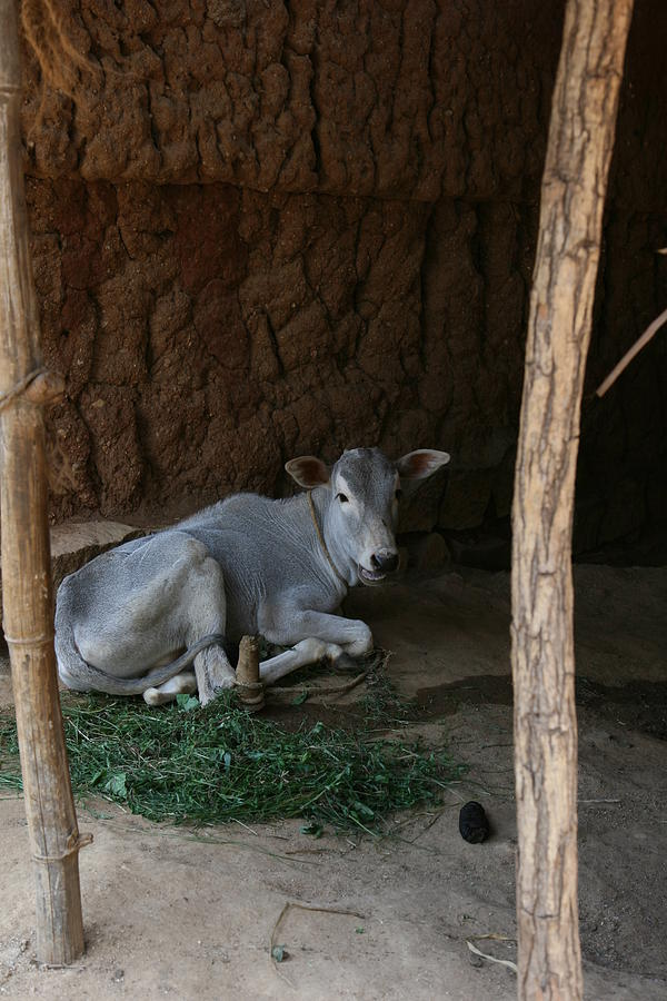 Domestic Animal Photograph - Calf In The Shed by Deepak Pawar