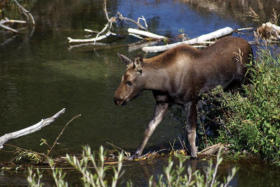 Grand Teton National Park Photograph - Calf Moose by Marty Koch