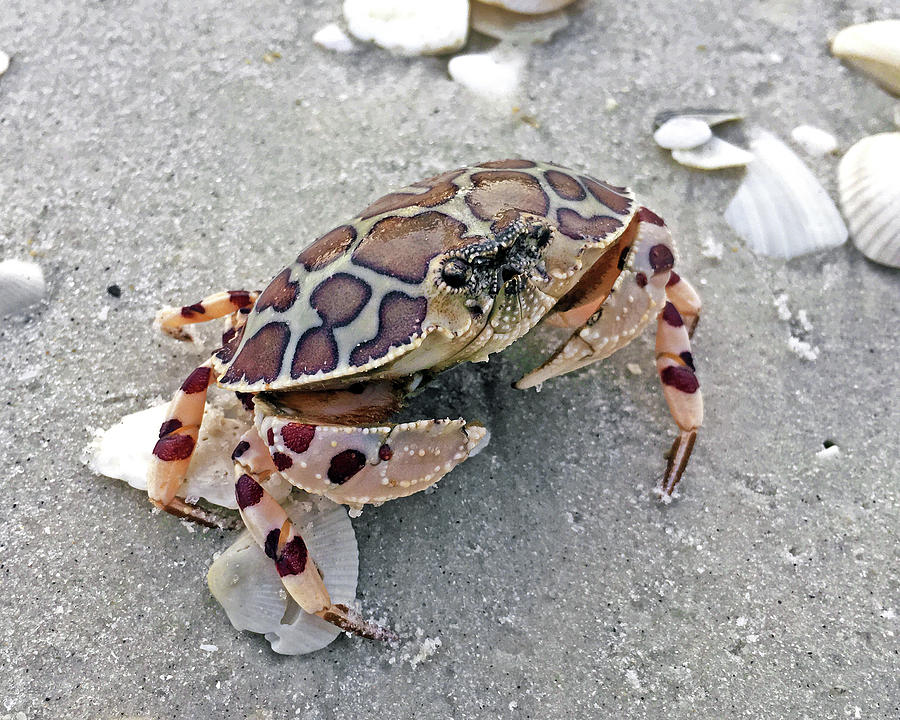 Calico Crab by Robb Stan