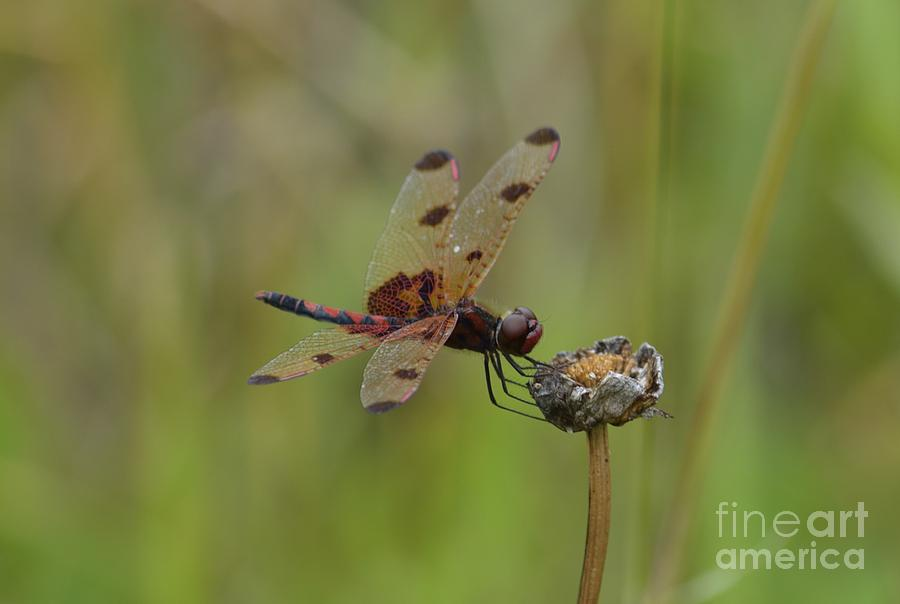 Calico Pennant Photograph - Calico Pennant by Randy Bodkins