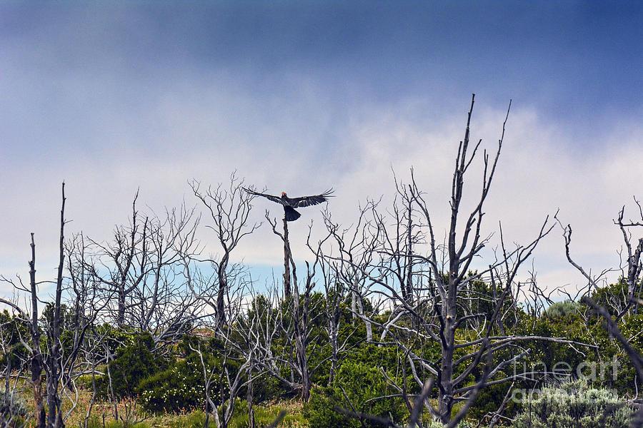 Birds Of Prey Photograph - California Condor Tag 22 by Debbie D Anthony