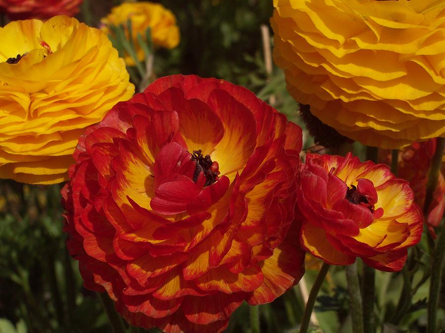 Ranunculus Photograph - California Gold by Jean Booth