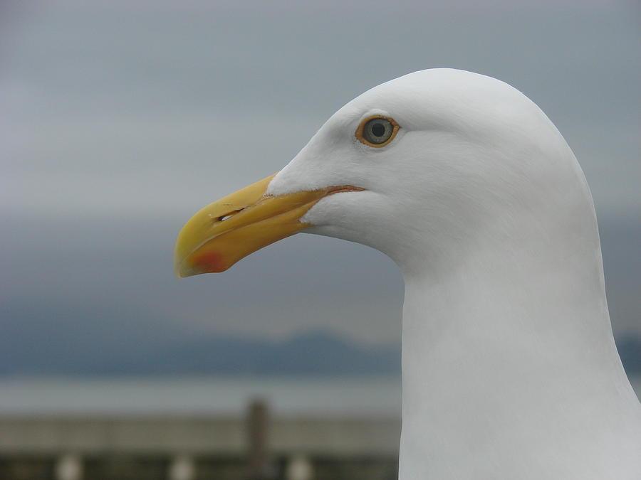 Seagull Photograph - California Gull by Wayne Whitney