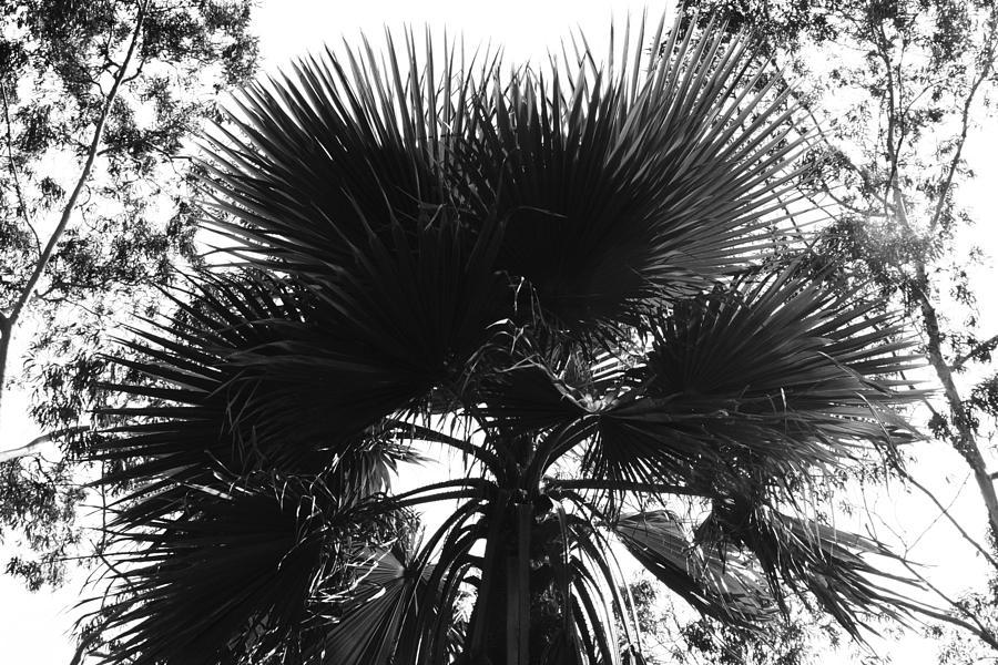 Palm Tree Photograph - California Palm Tree by Lisa Amaro