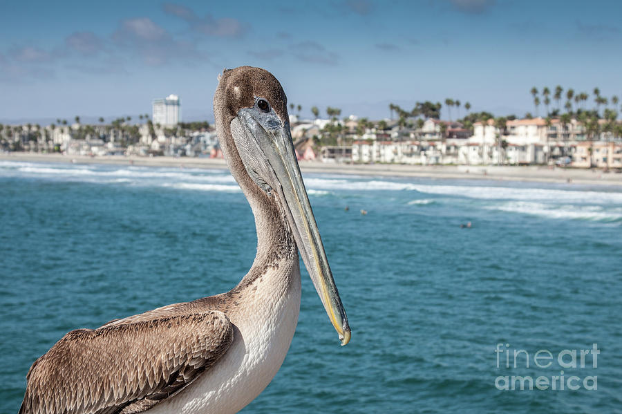 California Pelican by John Wadleigh