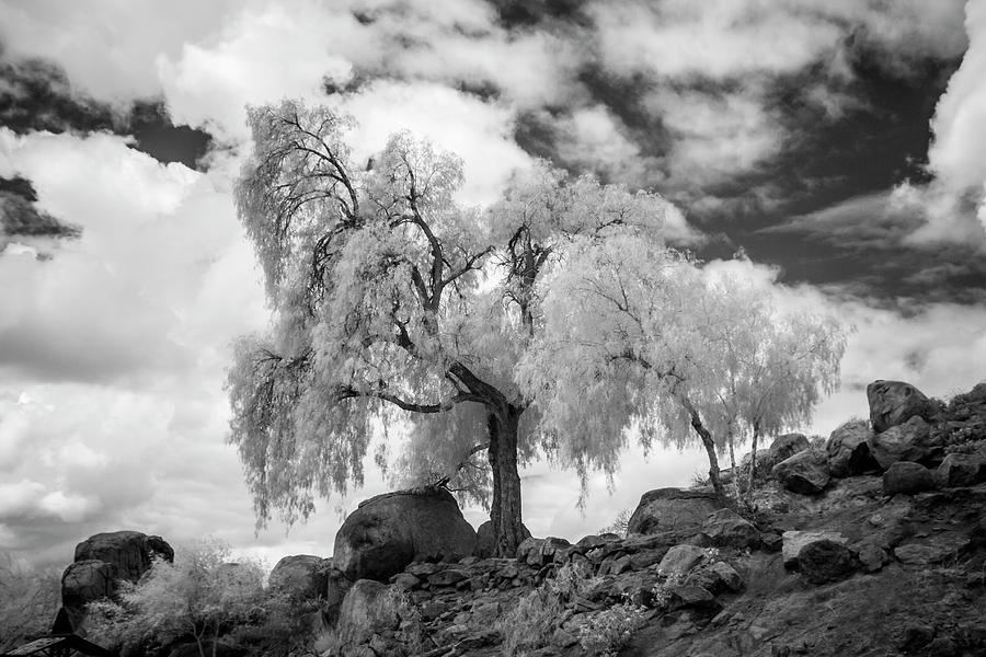 Mt. Rubidoux Photograph - California Pepper Tree by G Wigler