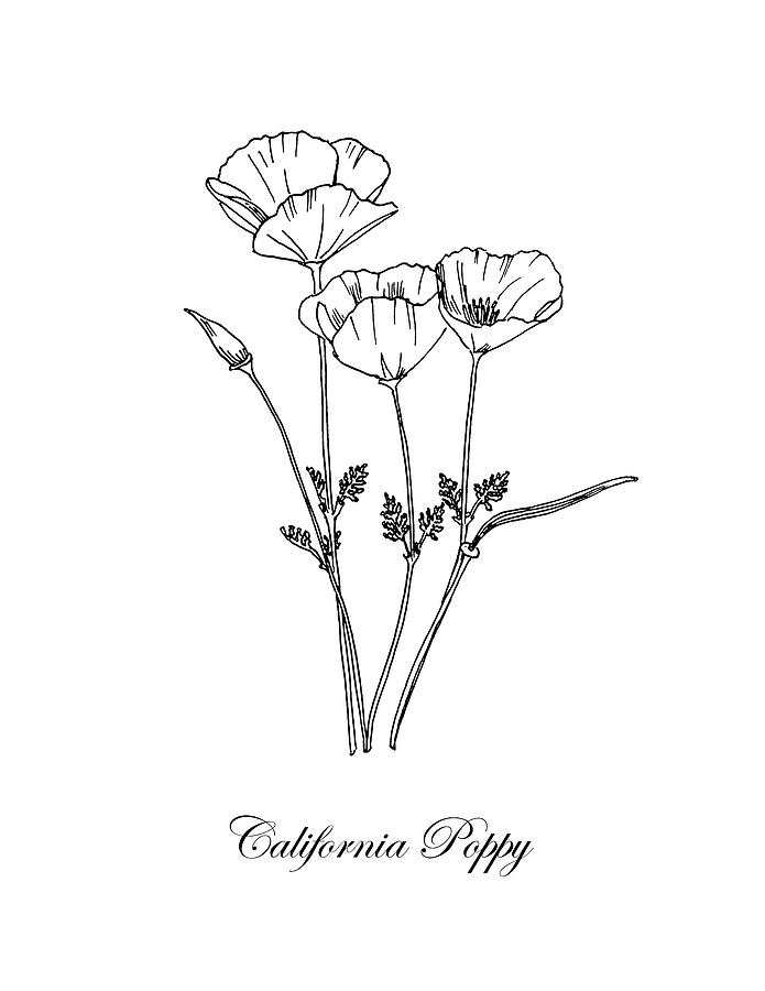 California Poppy Botanical Drawing By Masha Batkova
