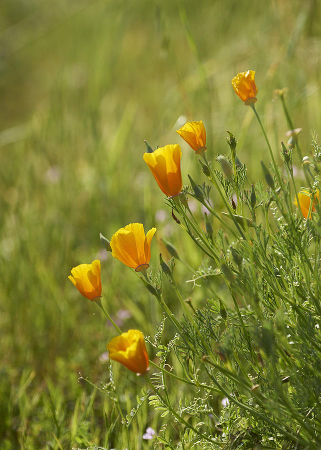 California Poppy Photograph by Doug Herr