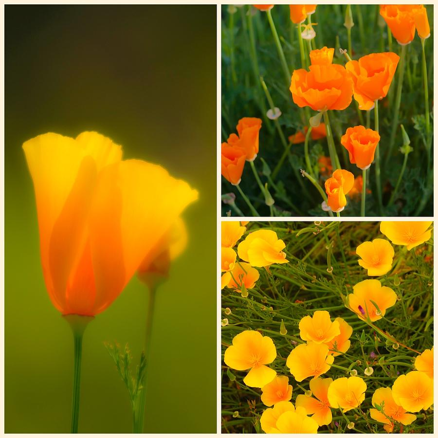 California Poppy Triptych by Sherri Meyer