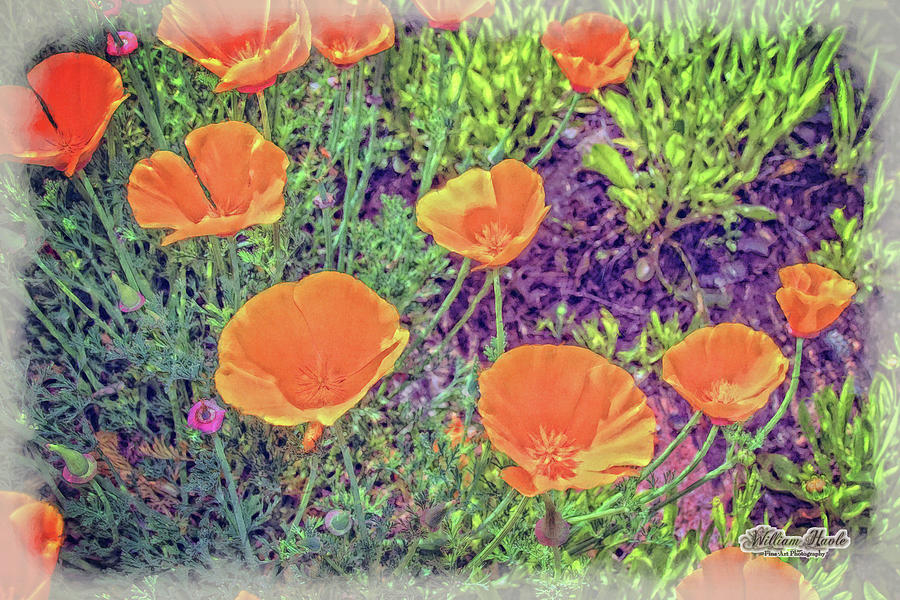 California Poppys too by William Havle