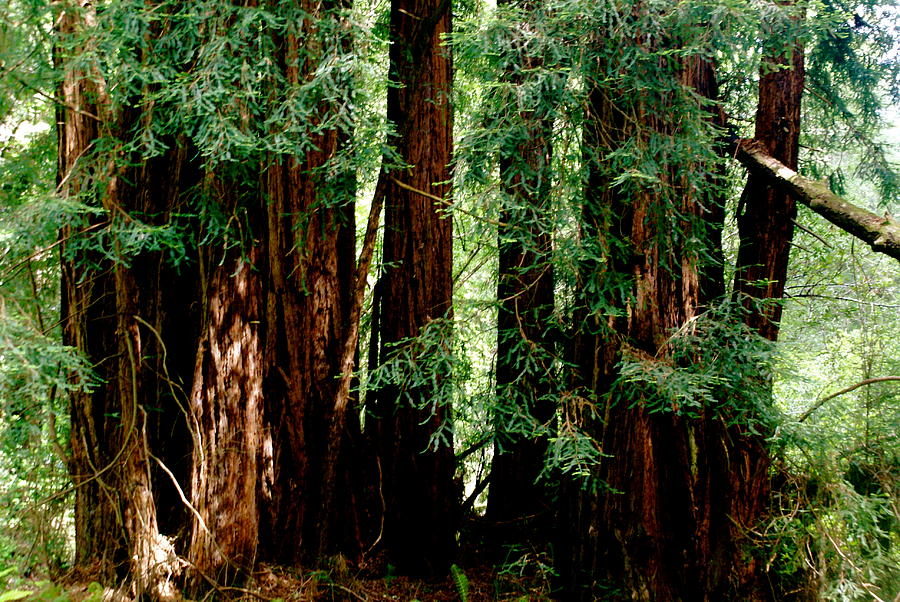 Botany Photograph - California Redwoods by Sonja Anderson