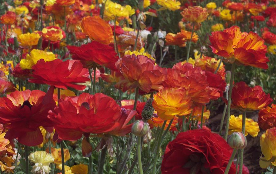 Ranunculus Photograph - California Riches by Jean Booth