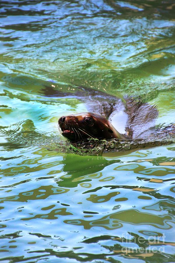 California Sea Lion Photograph - California Sea Lion-1611 by Gary Gingrich Galleries