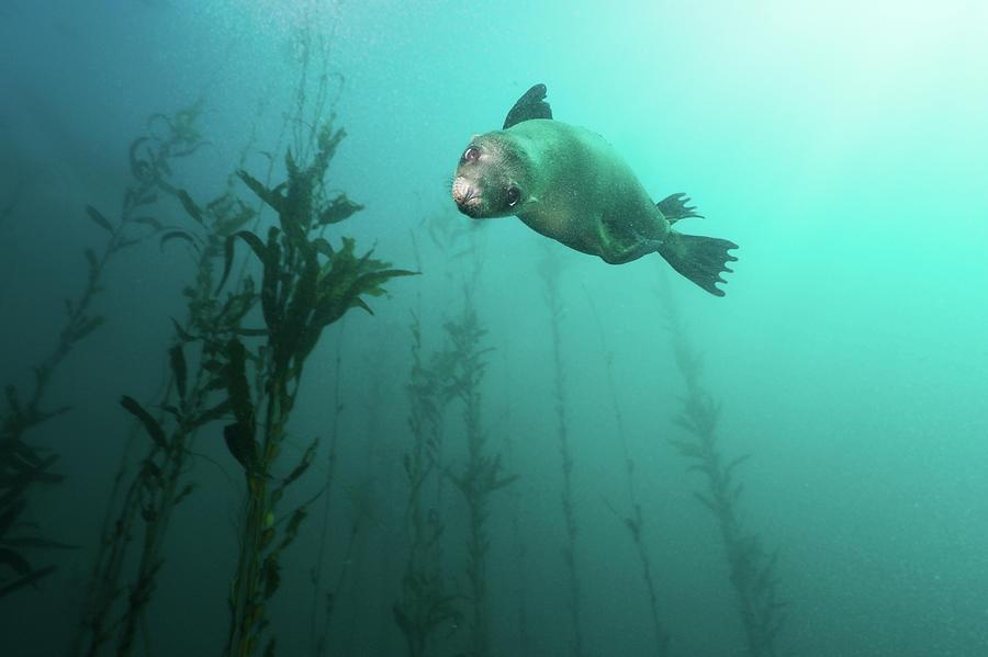 Horizontal Photograph - California Sea Lion In Kelp by Steven Trainoff Ph.D.