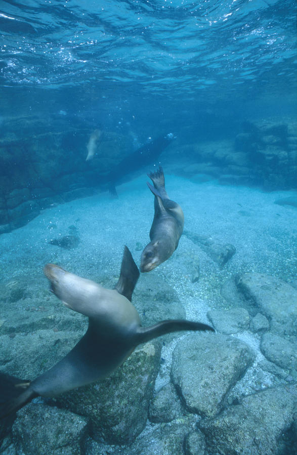 Diving Photograph - California Sea Lions At Play,  Zalophus by James Forte