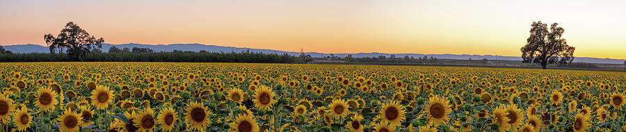 California Sunflowers-Panorama by Robin Mayoff