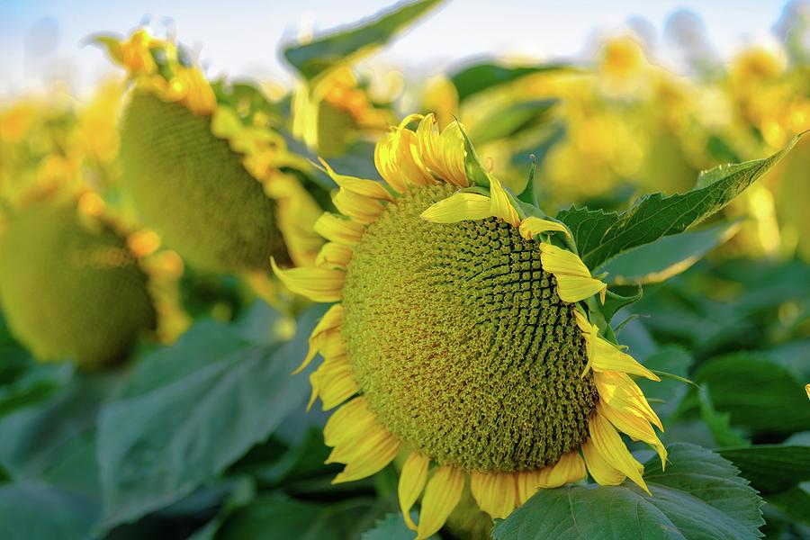 California Sunflowers by Robin Mayoff