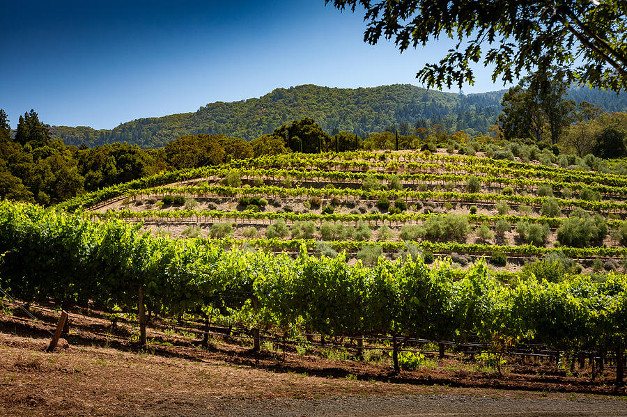 California Photograph - California Vineyard by Robert Davis