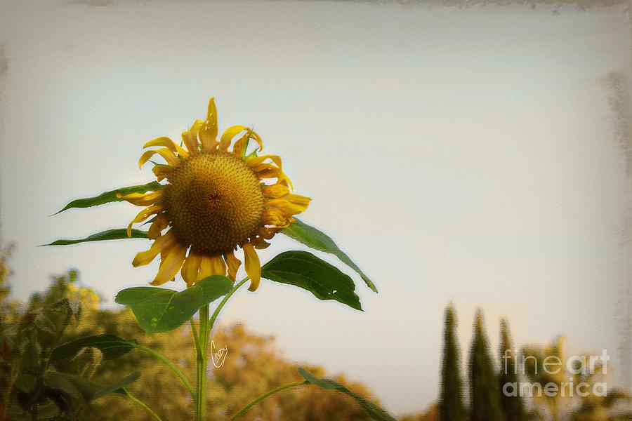 Sunflower Photograph - Californian Tuscany by Cindy Garber Iverson