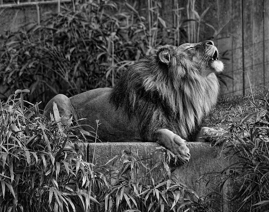 Lion Photograph - Call Of The Wild Bw by Keith Lovejoy