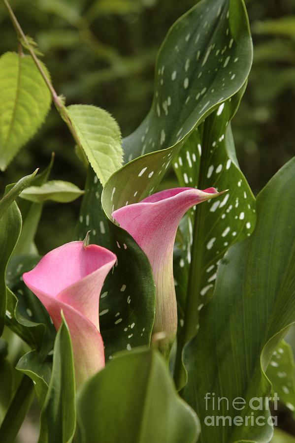 New England Photograph - Calla Lilies by Erin Paul Donovan