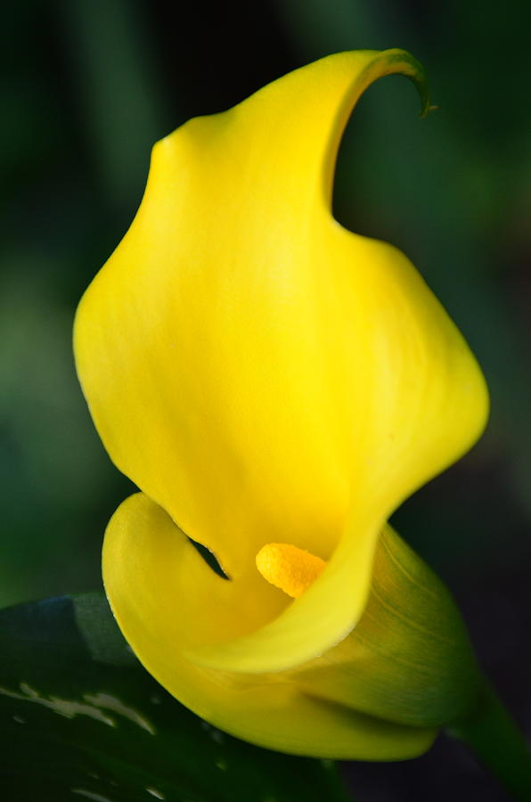 Calla Lilly by Newel Hunter