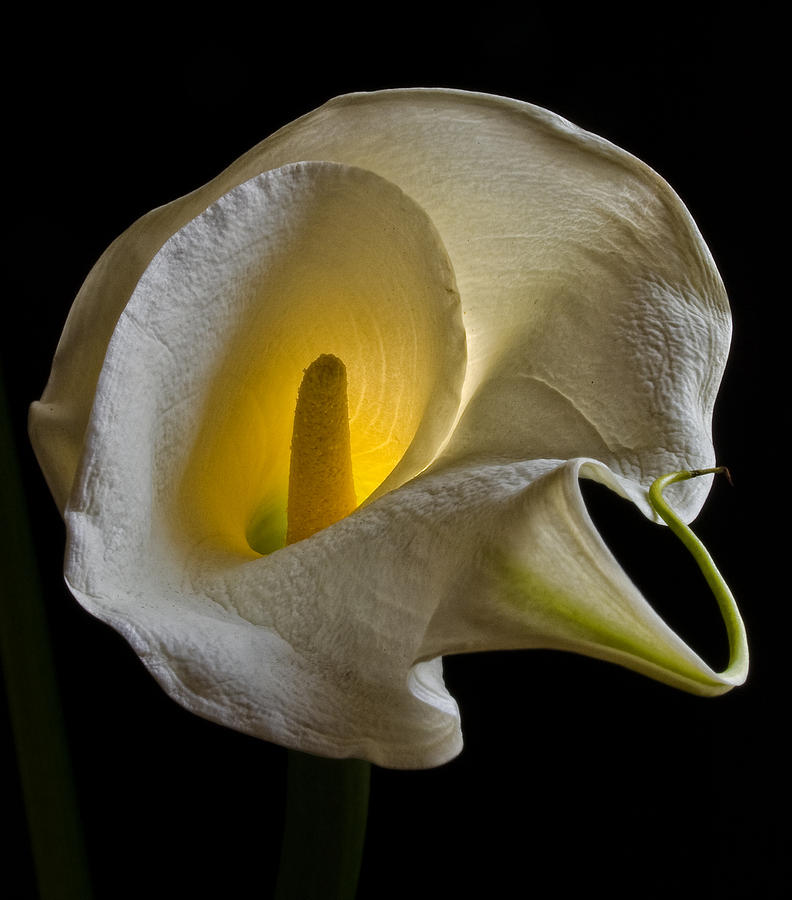 Calla Lily - Backlit Photograph