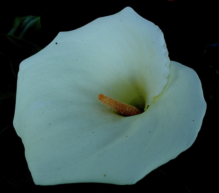 India Photograph - Calla Lily At Ooty, India by Misentropy