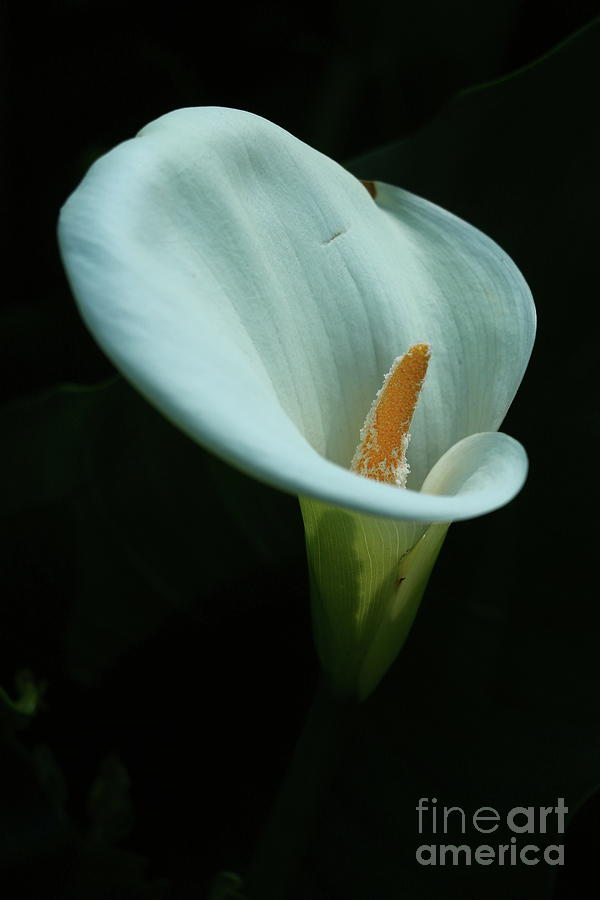 Calla Lily Photograph By Christiane Schulze Art And Photography