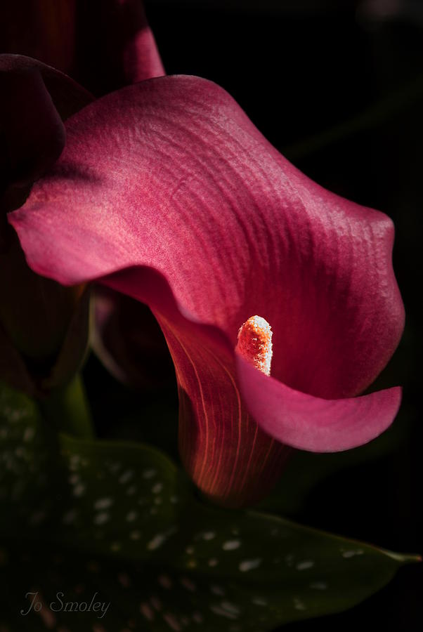 Calla Photograph - Calla Lily by Joanne Smoley