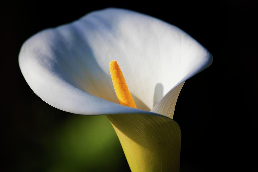 Calla Lily Photograph