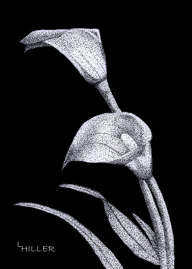 Flower Drawing - Calla by Linda Hiller