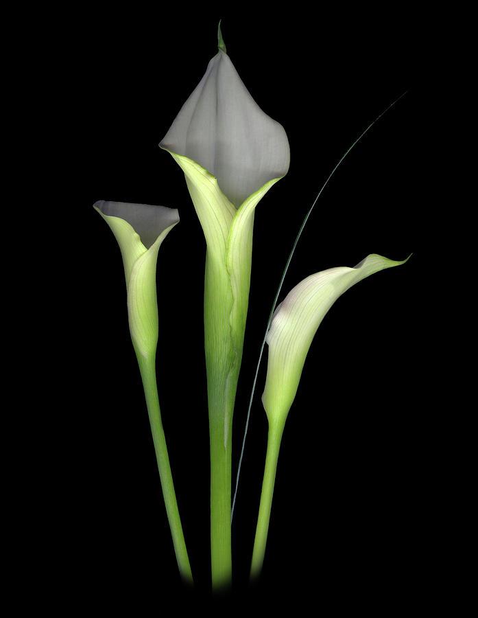 Calla Lilys Digital Art - Calla by Sandi F Hutchins