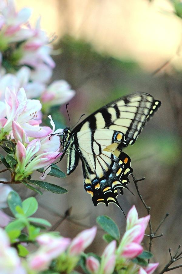 Flowers Photograph - Callaway Butterfly by Gayle Miller