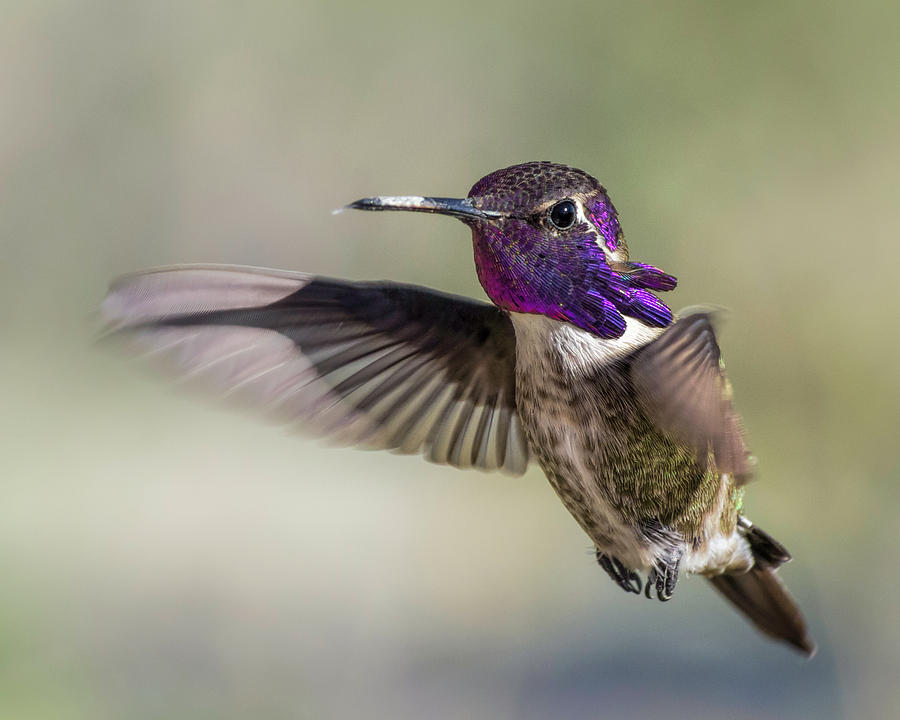 Costa's Hummingbird Photograph - Costas by Mike Herdering
