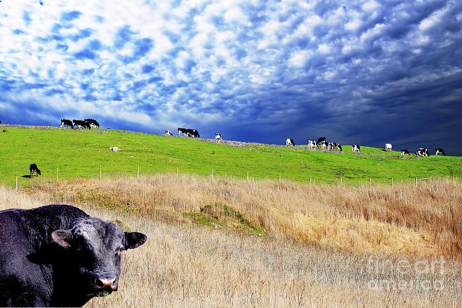 Cow Photograph - Calm Before The Storm by Wingsdomain Art and Photography