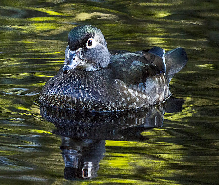 Wood Duck Photograph - Calmness on the Water by Sheldon Bilsker