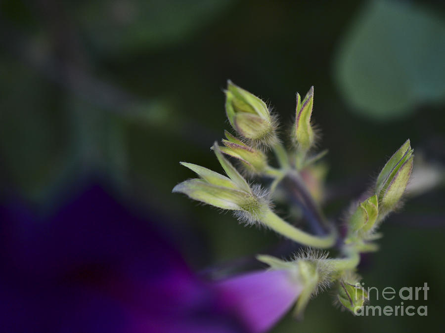 Purple Photograph - Calyx by Alana Boltwood