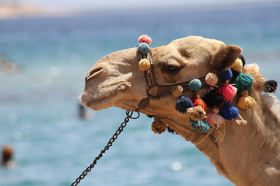 Camel Photograph - Camel By The Sea by Tawfik W Dajani