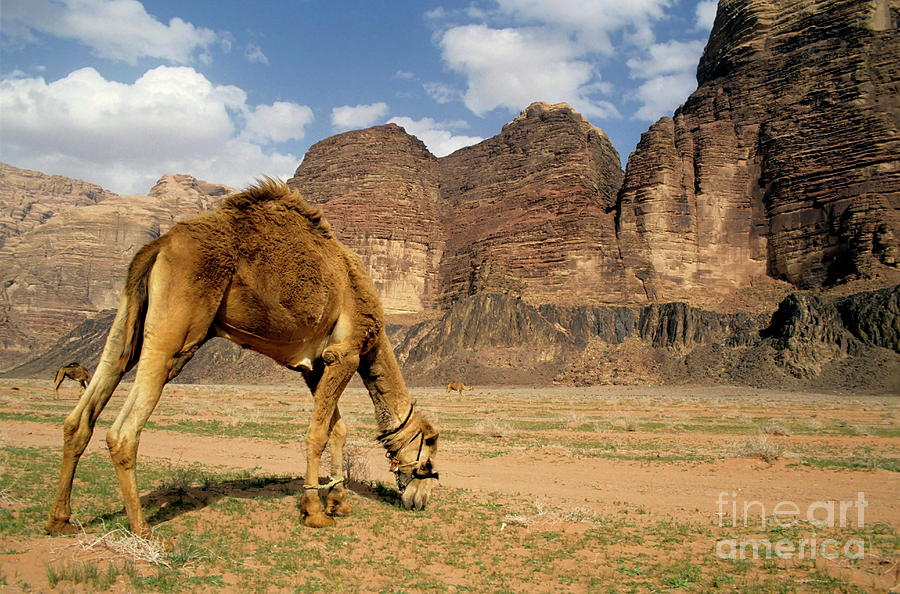 Animal Photograph - Camel Grazing In A Desert Landscape by Sami Sarkis