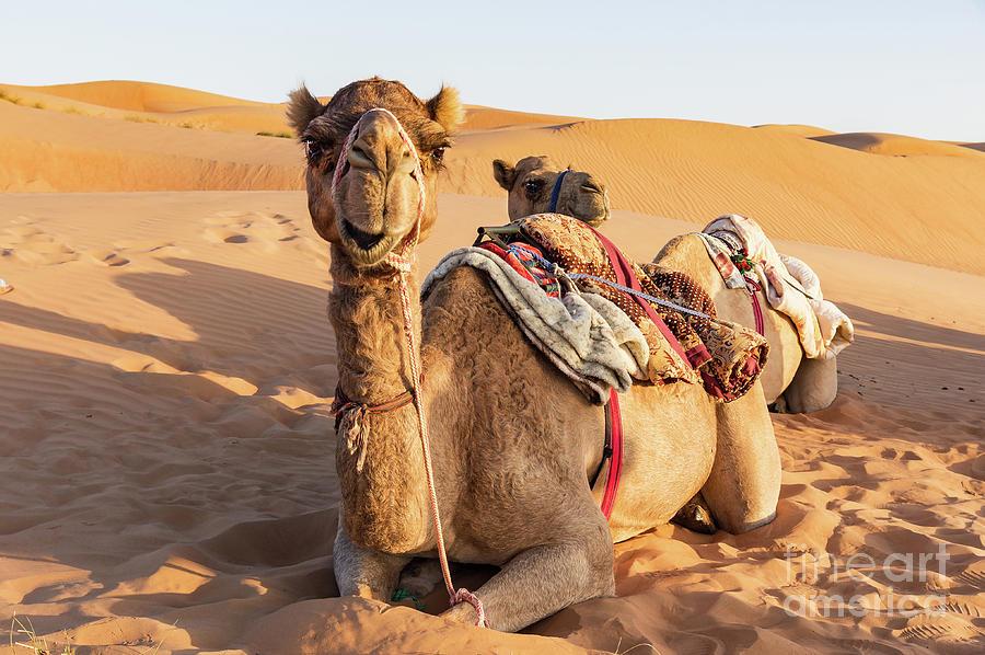 Camel in Oman desert by Ulysse Pixel