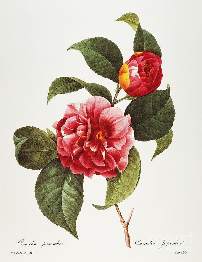 1833 Photograph - Camellia, 1833 by Granger