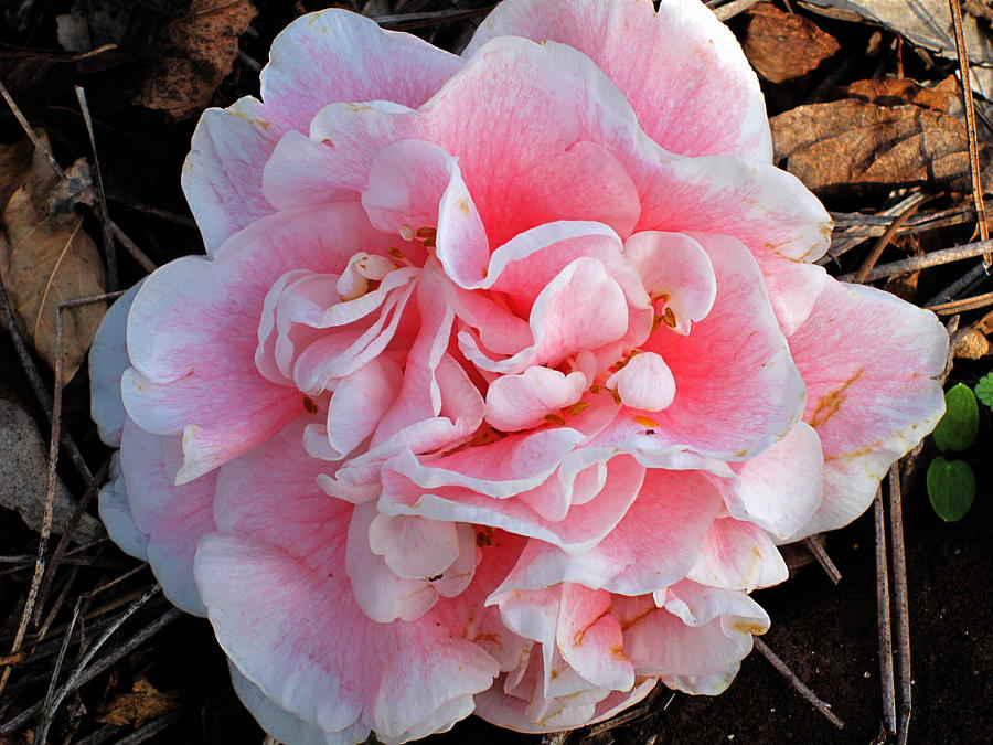 Pink Photograph - Camellia Flower by Susanne Van Hulst