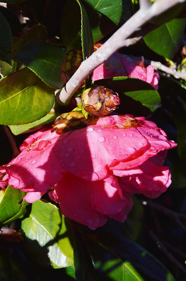 Camellia Light And Bud Photograph