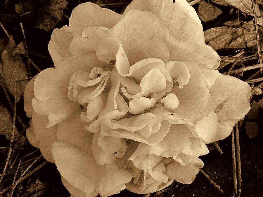 Camellia Photograph - Camellia Sepia by Susanne Van Hulst