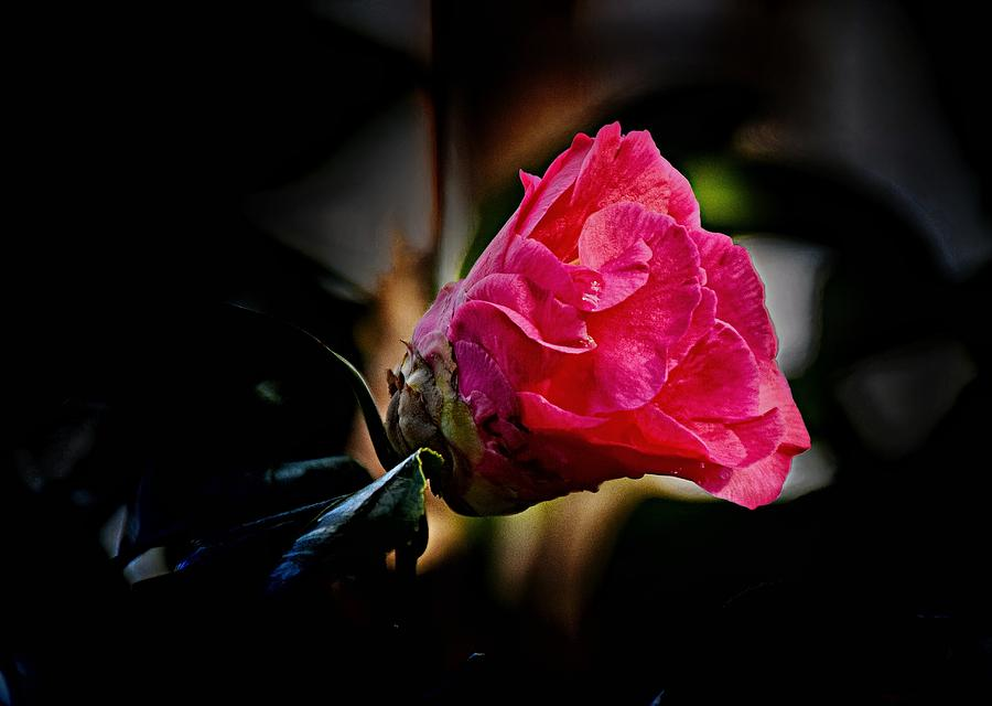Camellias Photograph - Camellia Silhouette  by Lynn Terry