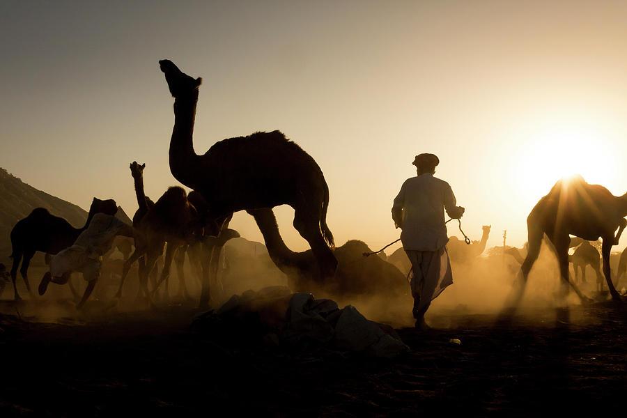 Camels during Sunset at Pushkar by Mahesh Balasubramanian