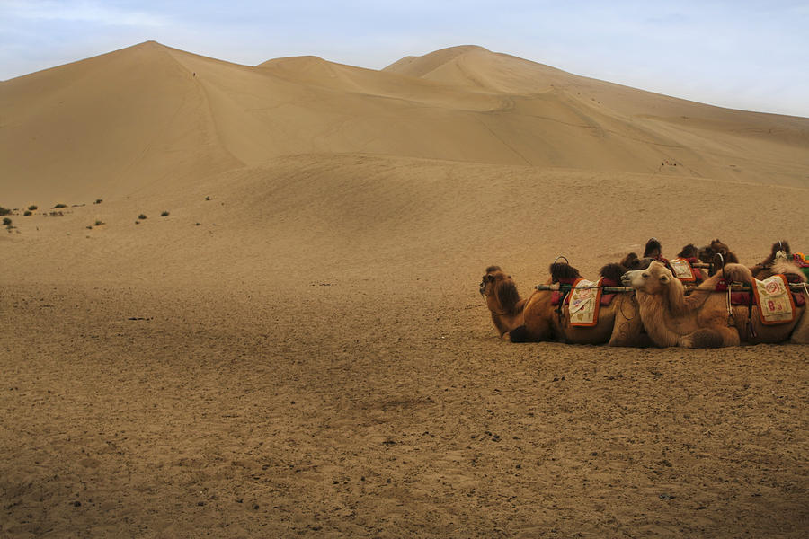 Camels of the Silk Route by Jed Holtzman