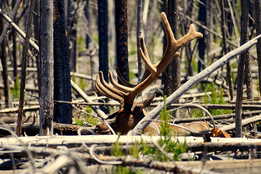 Antlers Photograph - Camouflaged by Beth Collins